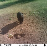 bear on hunting ranch